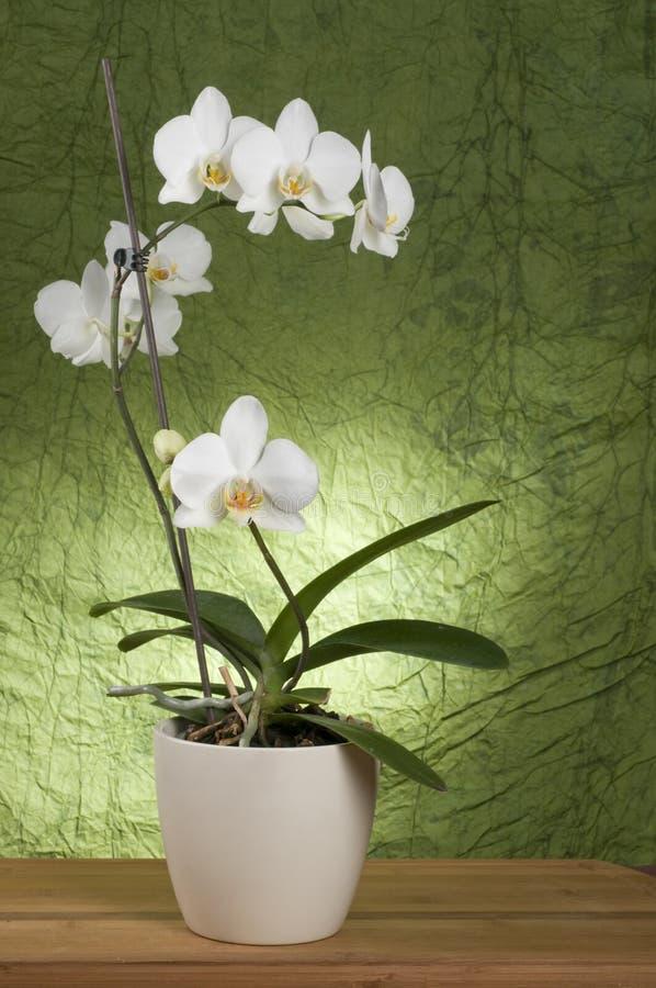 härlig orchidwhite royaltyfria foton