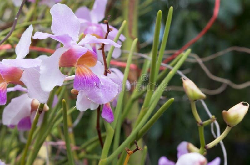 Härlig orkidé för lös blomma, Vanda teressyn Papilionanthe tere royaltyfria foton