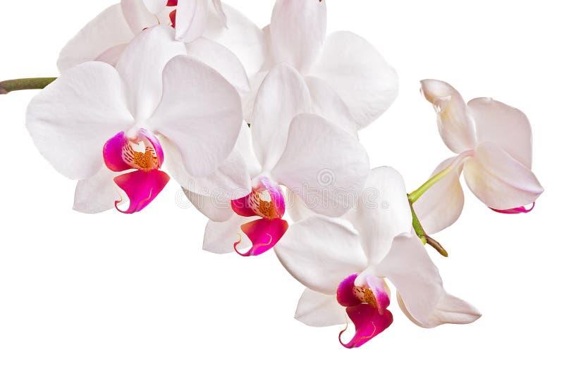 Härlig orkidé på vit bakgrund arkivfoto