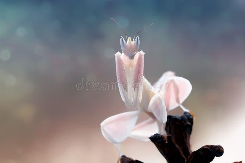 Härlig orkidébönsyrsa på stjälk royaltyfria foton