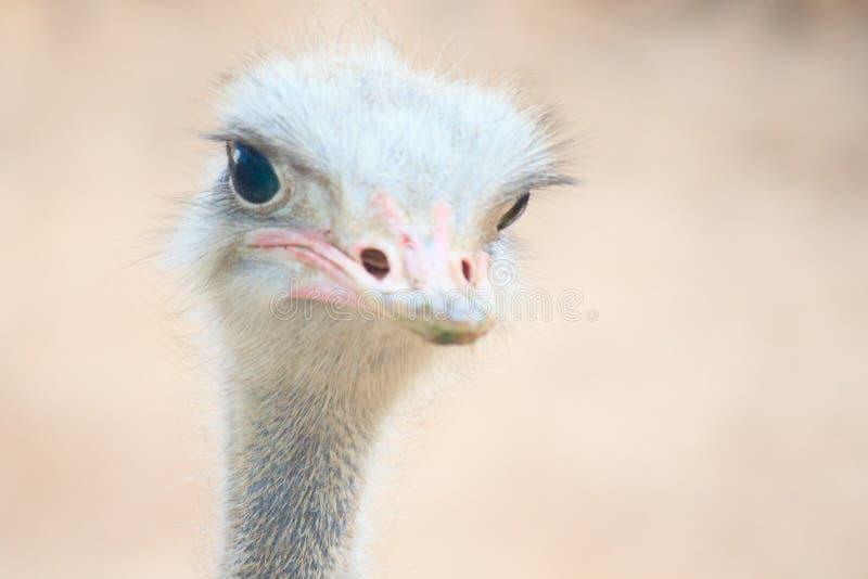 härlig ostrich royaltyfri fotografi