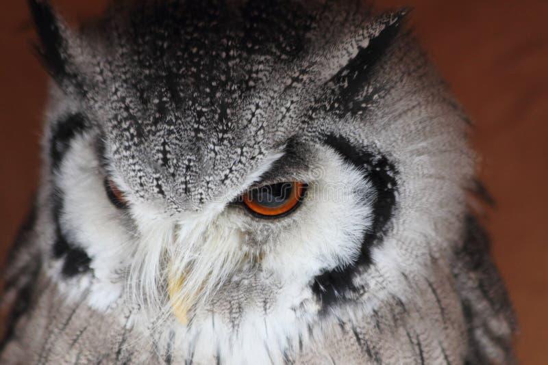 Download Härlig owl 2 fotografering för bildbyråer. Bild av closeup - 27287355