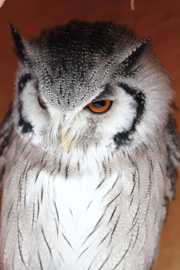 Download Härlig owl 4 arkivfoto. Bild av jägare, utomhus, medf8ort - 27287366