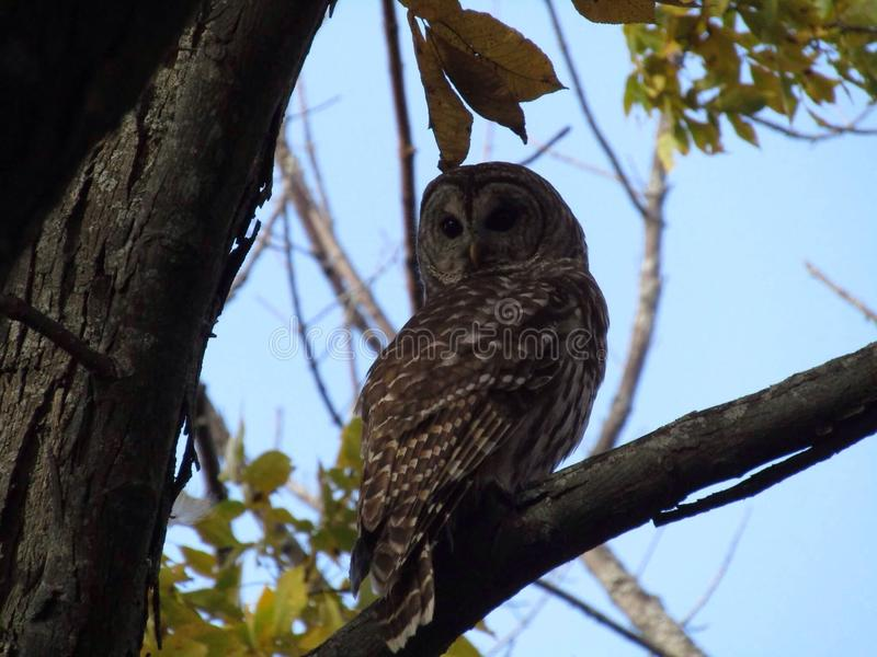 Härlig owl arkivfoto