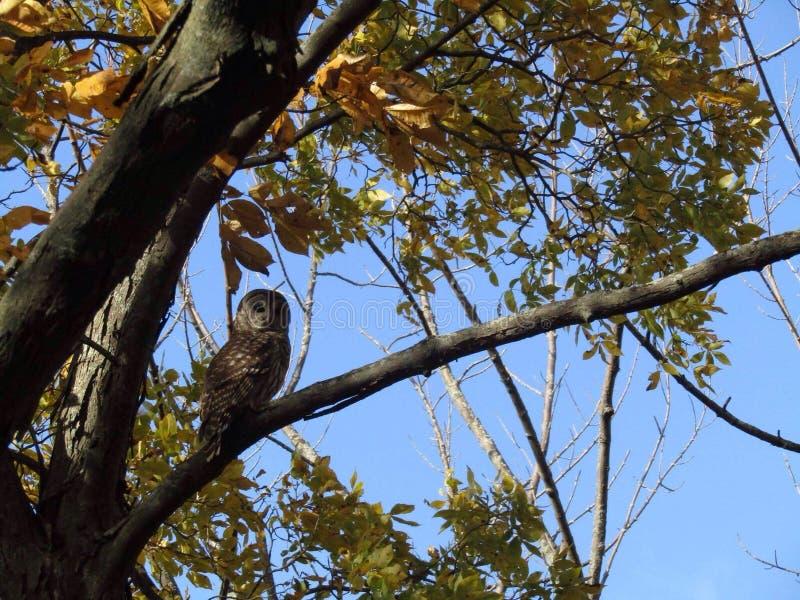 Härlig owl royaltyfria bilder