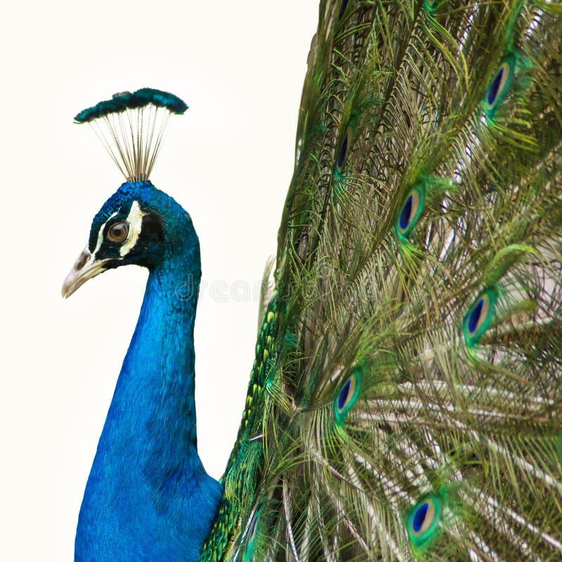 Härlig påfågel som isoleras på vit bakgrund arkivbild