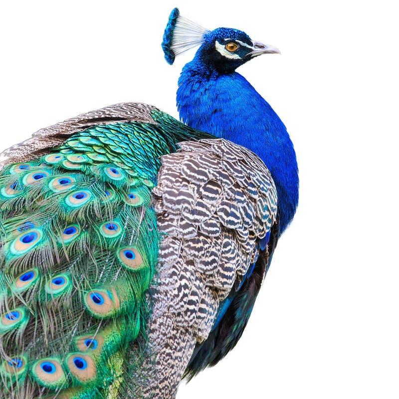 Härlig påfågel som isoleras på vit bakgrund royaltyfria bilder