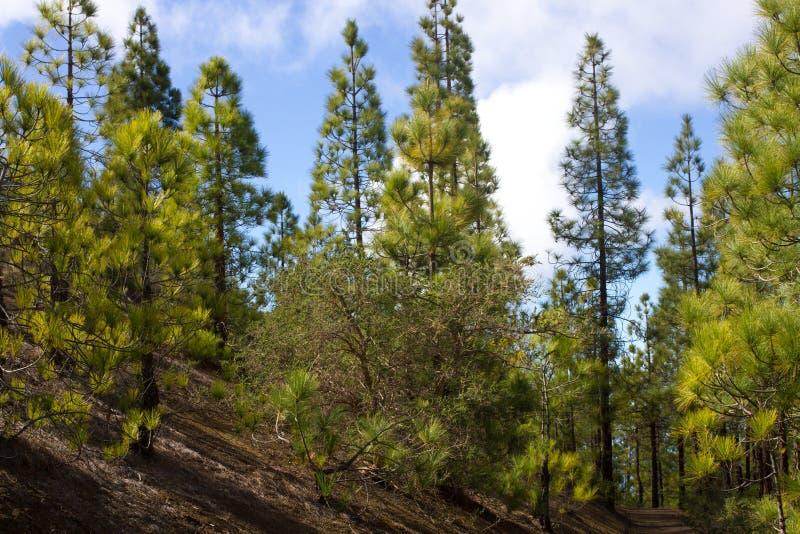 Härlig panorama av pinjeskogen med solig sommardag Barrträd Hållbart ekosystem teide tenerife royaltyfria bilder
