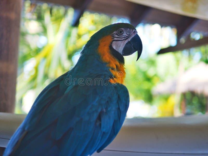 härlig papegoja fotografering för bildbyråer