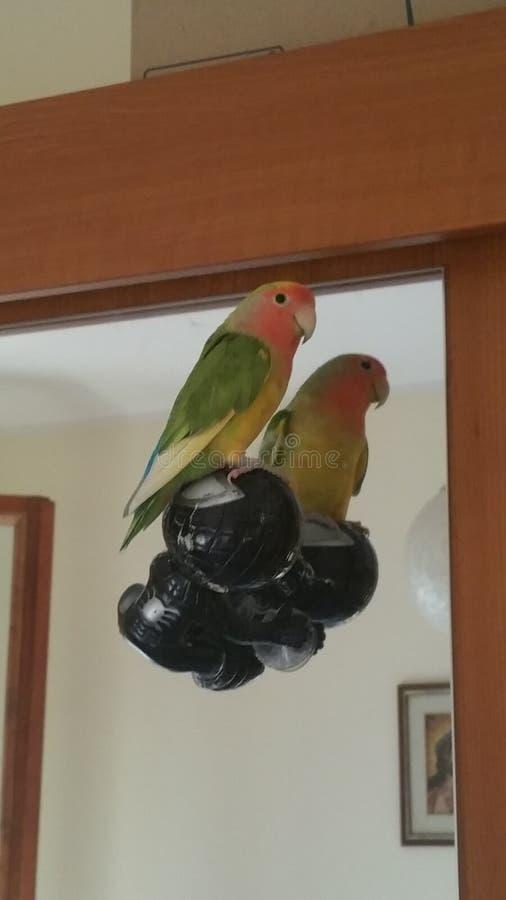 härlig papegoja arkivbilder
