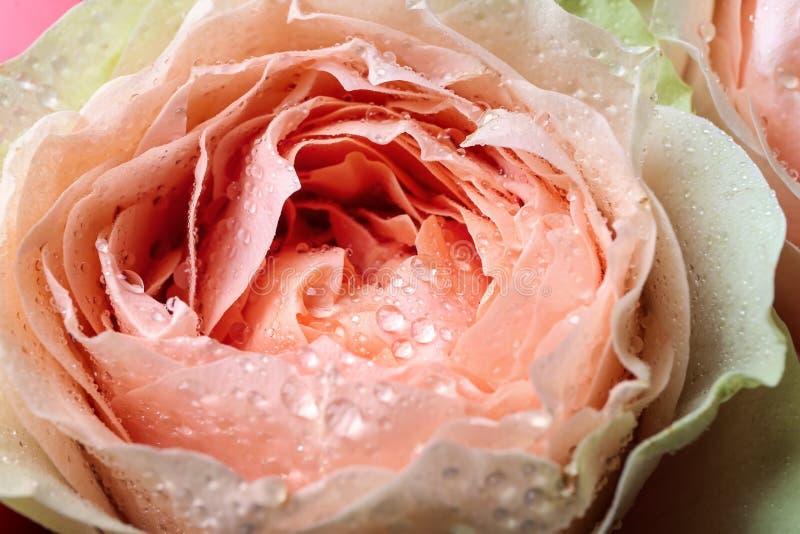 Härlig peachy ros, closeup royaltyfria bilder