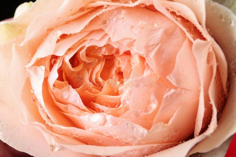 Härlig peachy ros, closeup arkivbild