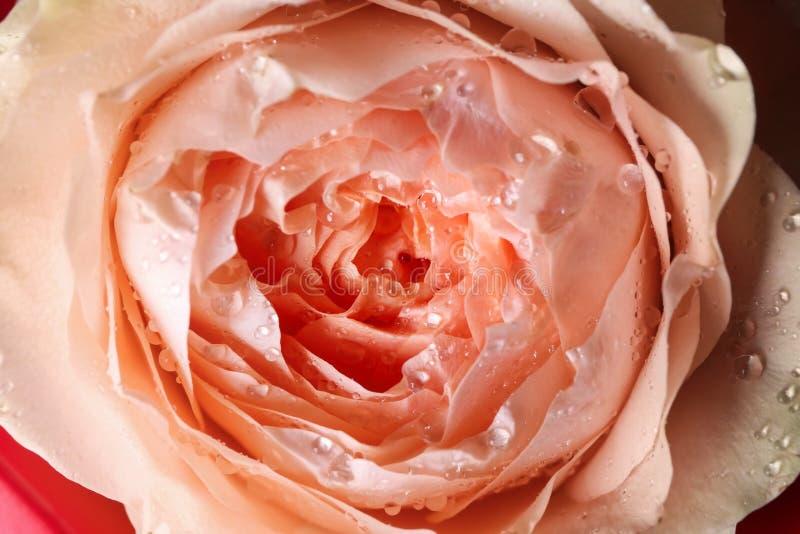 Härlig peachy ros, closeup arkivbilder