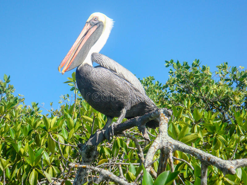 Härlig pelikan på Galapagos royaltyfri foto