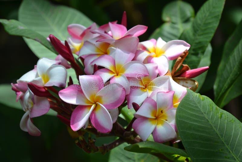 Härlig plumeria av hawaii royaltyfria bilder