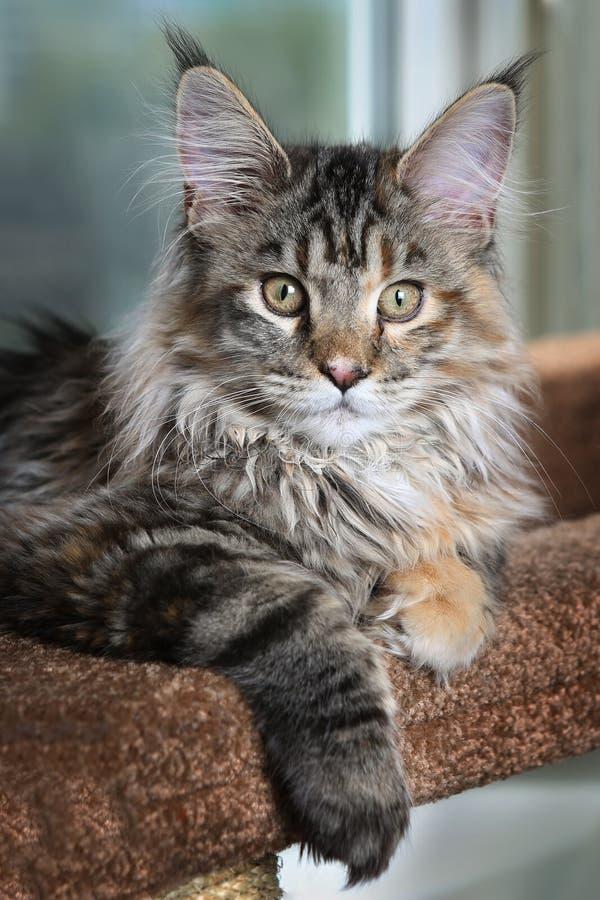 härlig pott Ung kattungeavel Maine Coon mot fönstret royaltyfria bilder