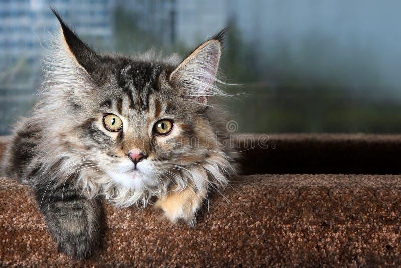 härlig pott Ung kattungeavel Maine Coon mot fönstret royaltyfria foton