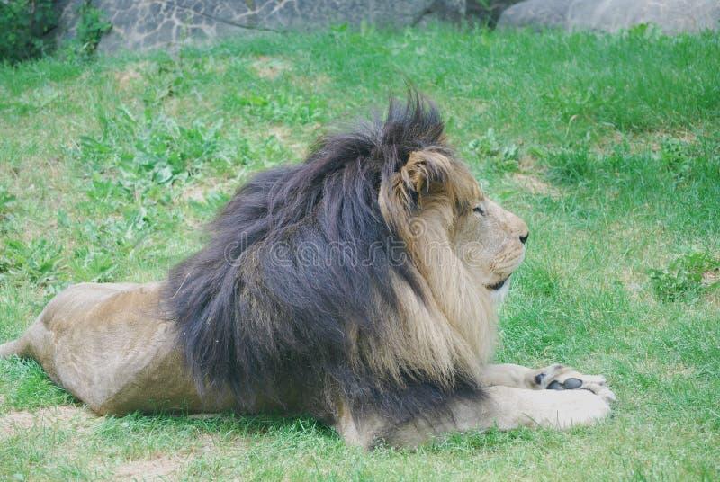 Härlig profil av ett vila lejon i grönt gräs fotografering för bildbyråer