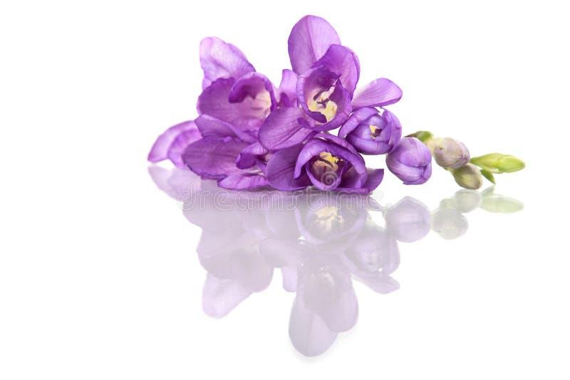Härlig purpurfärgad freesia som isoleras på vit royaltyfria bilder