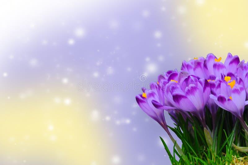 Härlig purpurfärgad krokus på färgrik bokehbakgrund arkivbilder