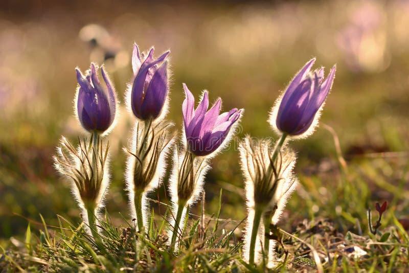 Härlig purpurfärgad liten päls- pasque-blomma (Pulsatillagrandis) blomma på våräng på solnedgången royaltyfri fotografi
