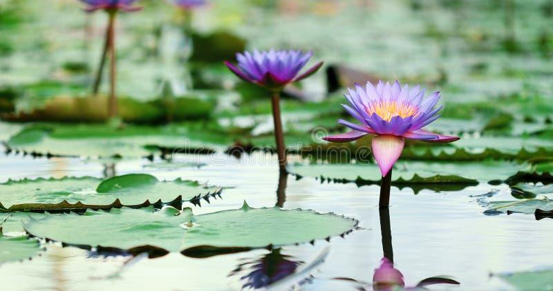 Härlig purpurfärgad lotusblomma, en näckrosblomma i dammet arkivbild