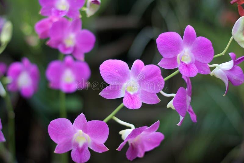 Härlig purpurfärgad orkidé i Thailand royaltyfri fotografi