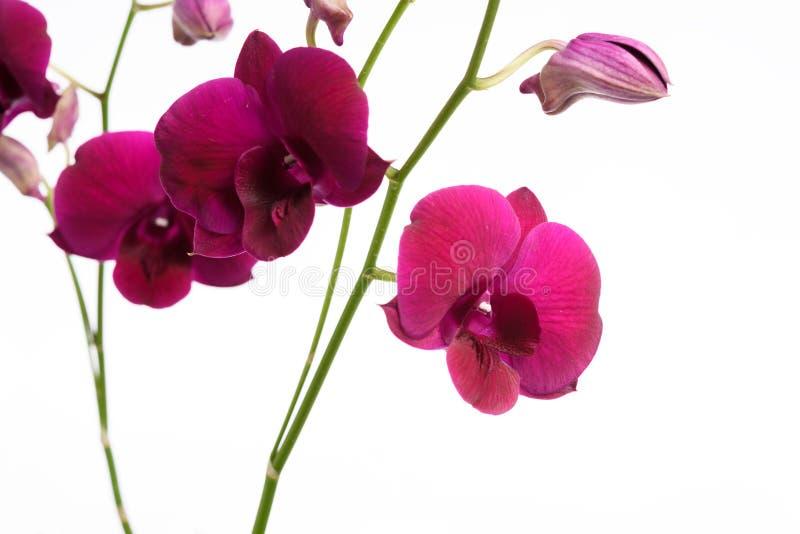 Härlig purpurfärgad orkidéblomma som isoleras på vit bakgrund arkivbilder
