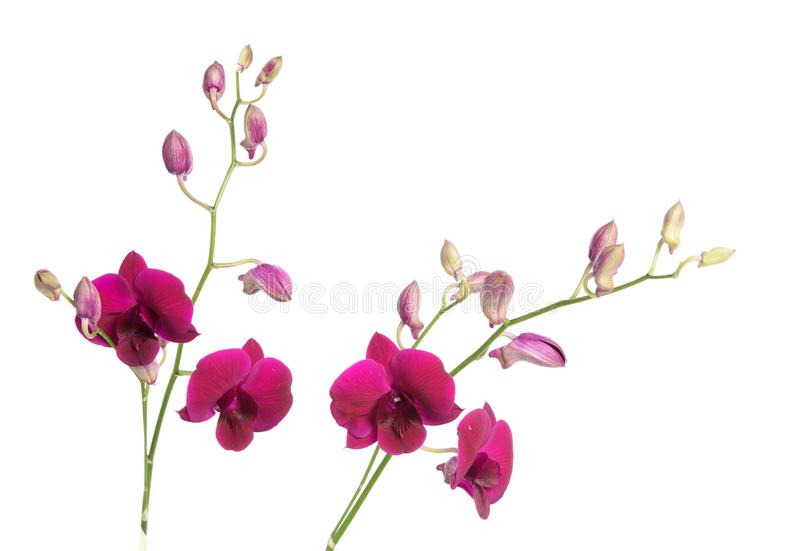 Härlig purpurfärgad orkidéblomma som isoleras på vit bakgrund royaltyfria bilder
