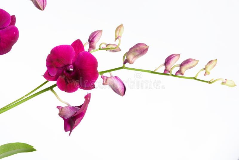 Härlig purpurfärgad orkidéblomma som isoleras på vit bakgrund arkivfoto
