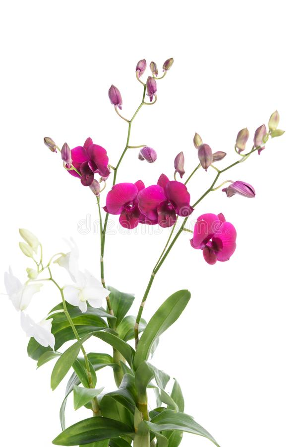 Härlig purpurfärgad orkidéblommaväxt som isoleras på vit backgroun fotografering för bildbyråer