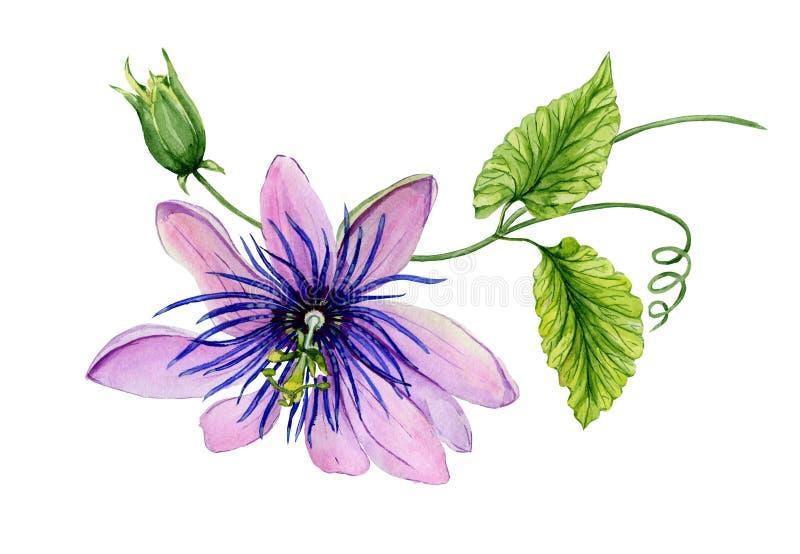 Härlig purpurfärgad passiflorapassionblomma på en fatta med den gräsplansidor och rankan bakgrund isolerad white royaltyfri illustrationer
