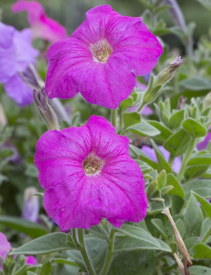 Härlig purpurfärgad petuniapetuniahybrida i trädgård royaltyfria foton