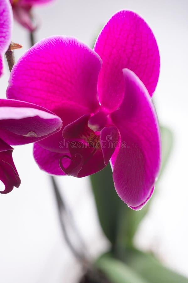 Härlig purpurfärgad phalaenopsisorkidéblomma runt om vit bakgrund close upp arkivfoton