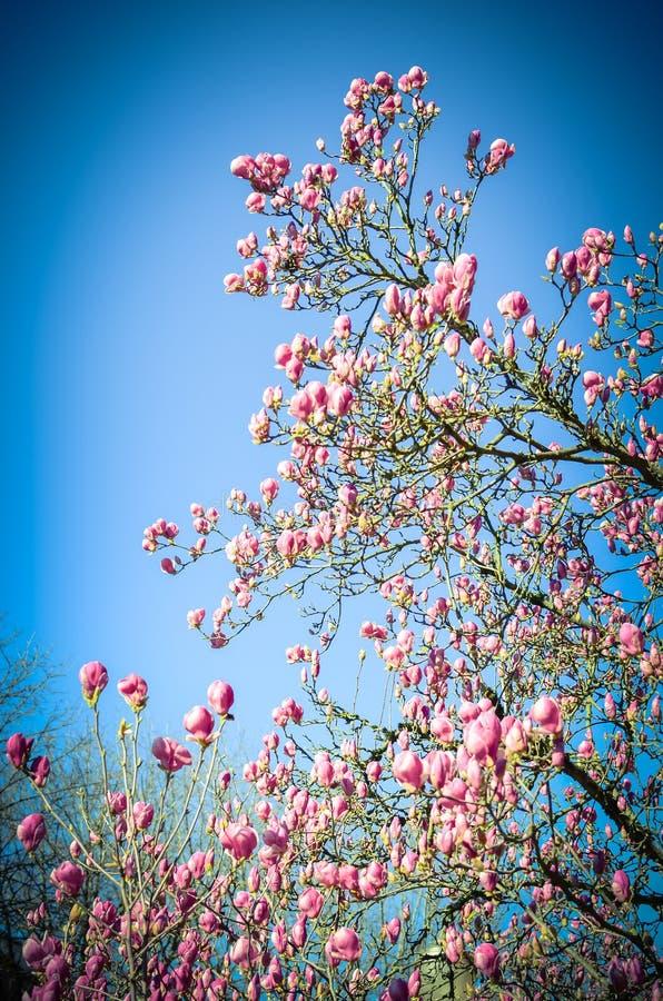 Härlig purpurfärgad säsong för magnoliablommor på våren arkivfoto