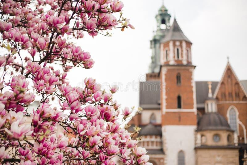 H?rlig purpurf?rgad s?song f?r magnoliablommor p? v?ren i Polen slottkunglig personwawel Historisk stad av Krakow in royaltyfri foto