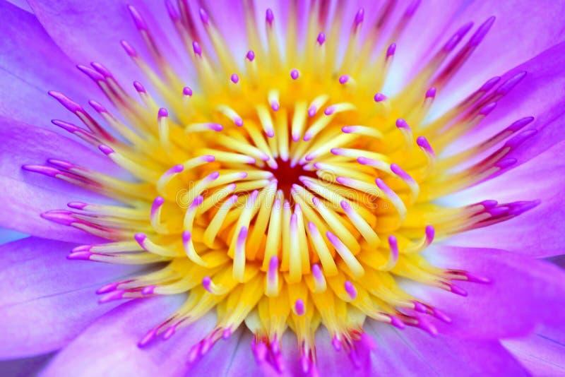 Härlig purpurfärgad Waterlily blomma som blommar i dammet royaltyfria bilder