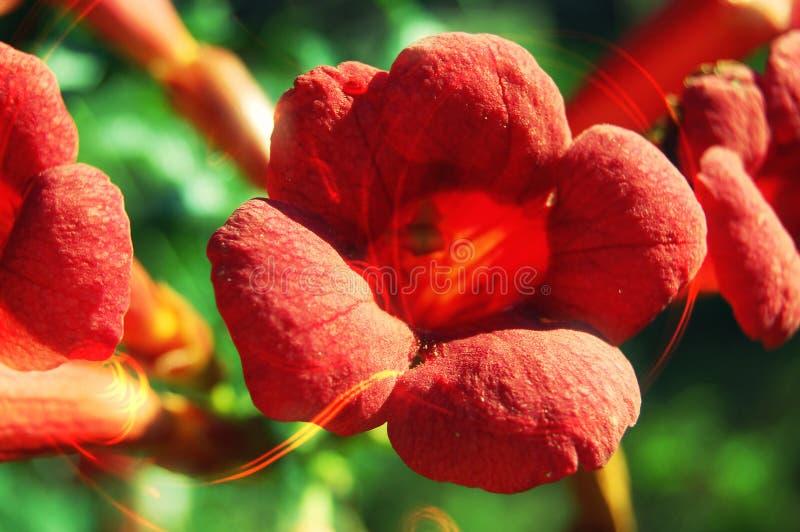 Härlig röd blomma arkivfoton