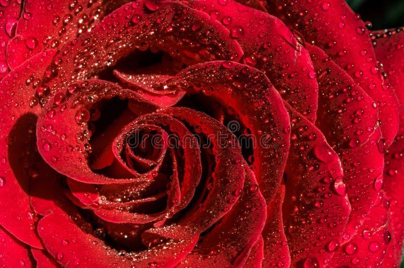 Härlig röd blomma med daggdroppar överst, tätt upp ljus red steg arkivbilder