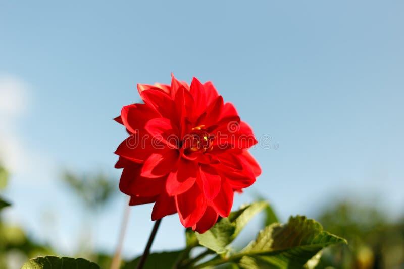 Härlig röd blomma på bakgrunden fotografering för bildbyråer