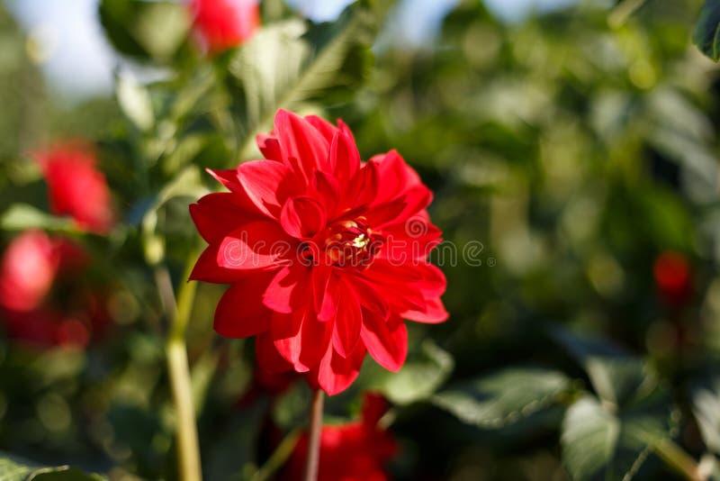 H?rlig r?d blomma p? v?rgr?splanbakgrund i naturmakro p? mjuk oskarp ljus bakgrund Begreppsv?rsommar fotografering för bildbyråer