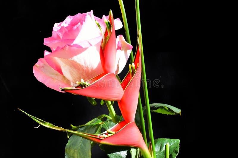 Härlig röd exotisk flowe med rosa slut upp i solskenet arkivbilder