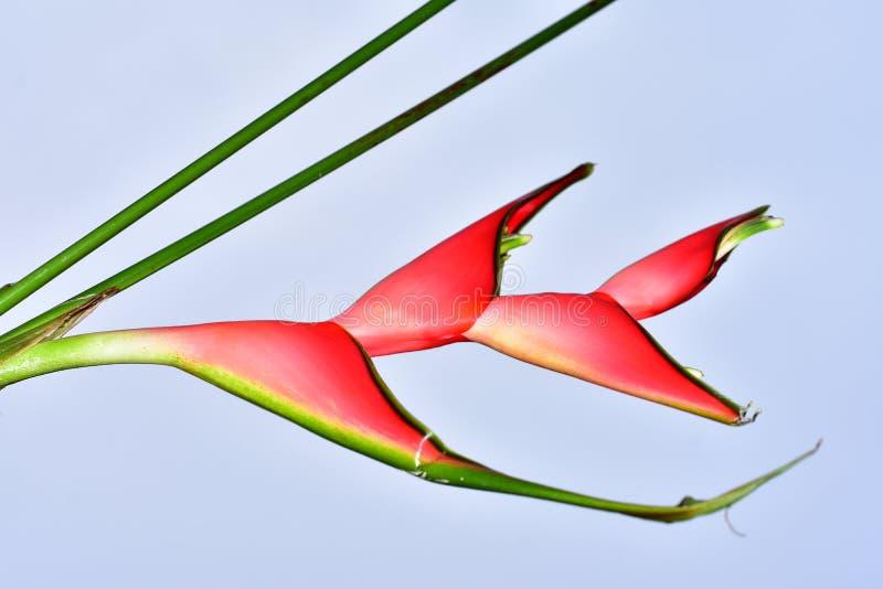 Härlig röd exotisk flowe med rosa slut upp i solskenet royaltyfri foto