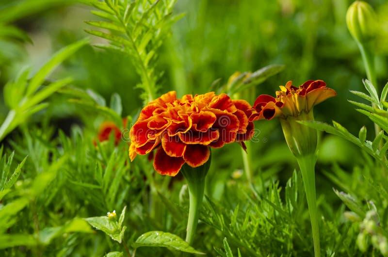Härlig röd fransk ringblomma i trädgård royaltyfri bild