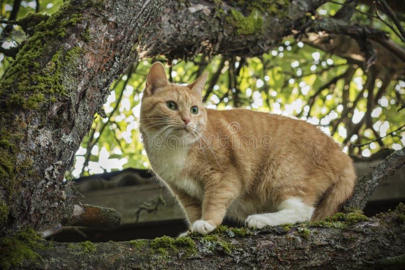 Härlig röd-hövdad katt med gröna ögon på en branchBeautiful röd katt med gröna ögon på ett träd fotografering för bildbyråer