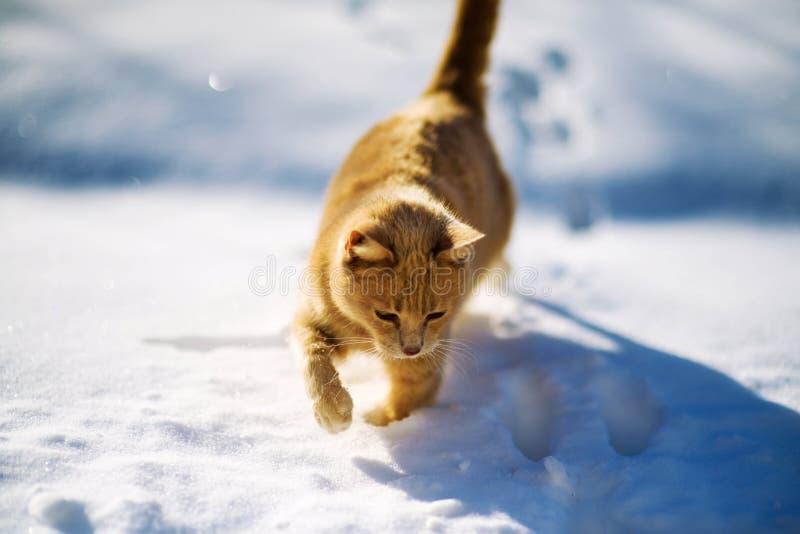 Härlig röd katt som går på snön, vintertid royaltyfri foto