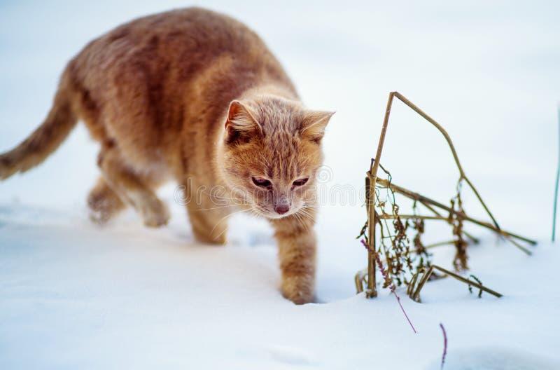 Härlig röd katt som går på snön, vintertid royaltyfria bilder