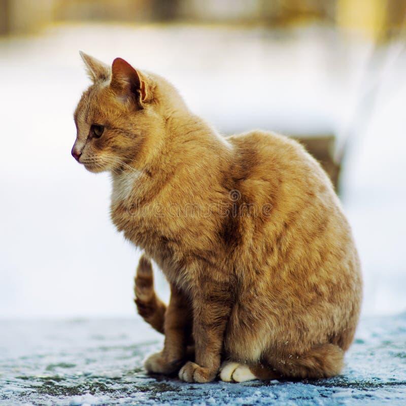Härlig röd katt som går på snön, vintertid arkivfoton