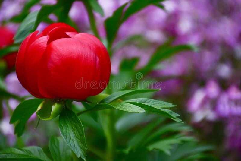 Härlig röd lös peregrina för Paeonia för växt för pionvårblomma arkivbild