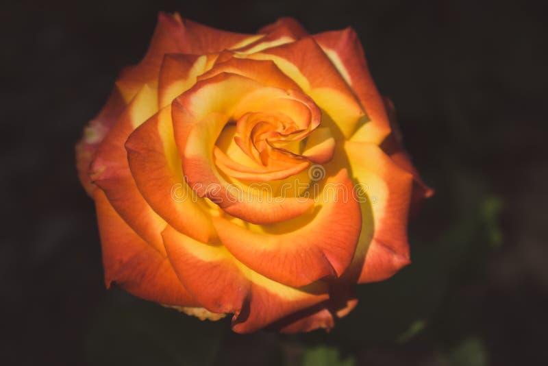 Härlig röd och orange rosa blomma på svart bakgrund Att blomma rosen bleknade Blom- förälskelse- och romanssymbol fotografering för bildbyråer
